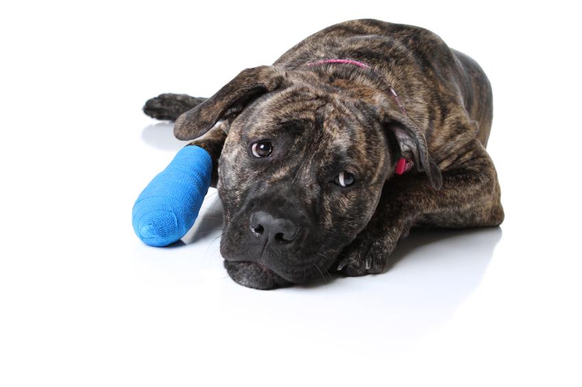 Раны у домашних животных: классификация и первая помощь