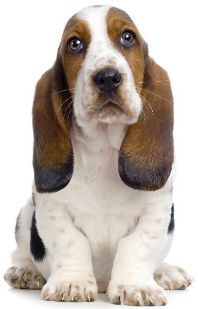 Как ухаживать за ушами собаки?